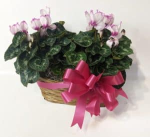 White cylcalem flowers with pink trim in wicker basket with a bow